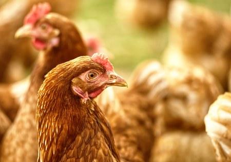 Adoptez des poules pondeuses