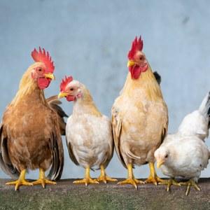 Grippe aviaire : confinement obligatoire